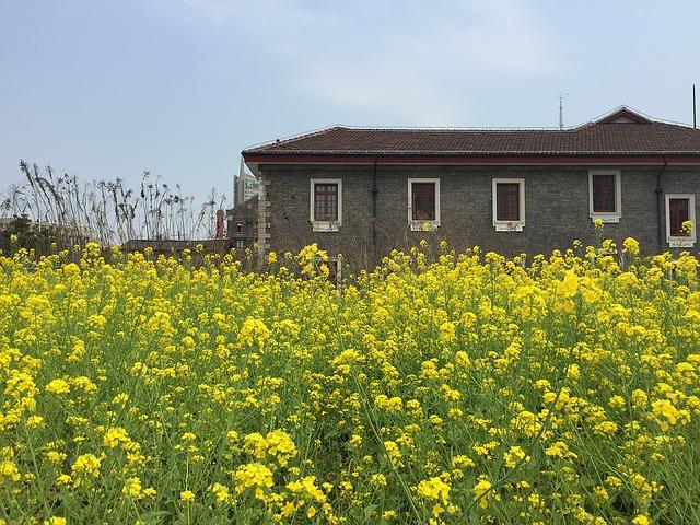 šedý dům, pole řepky