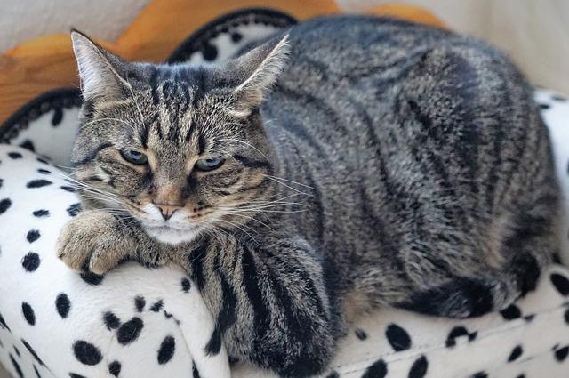 kočka se znatelnou nadváhou.jpg